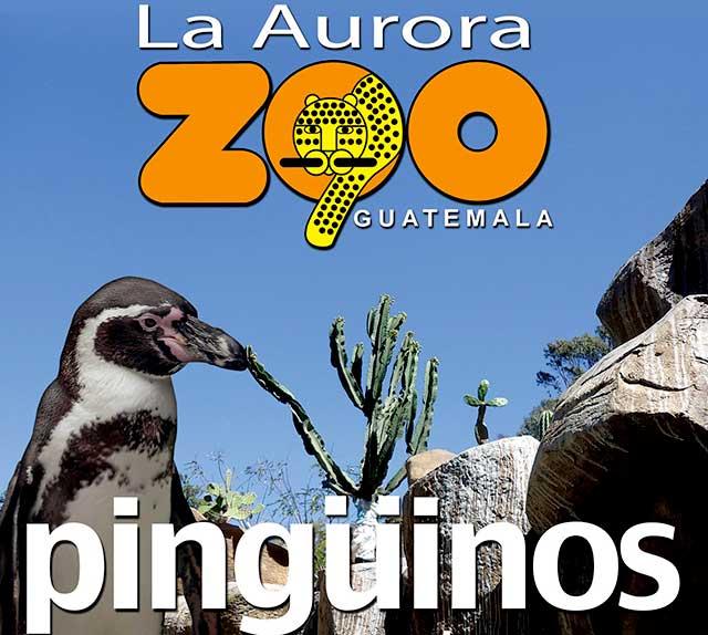 Pingüinos llegan al Zoológico La Aurora de la Ciudad de Guatemala.