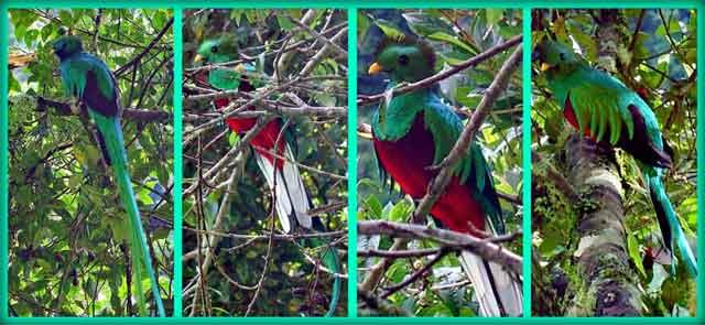 Quetzal en Guatemala. Foto por Camelia TWU.