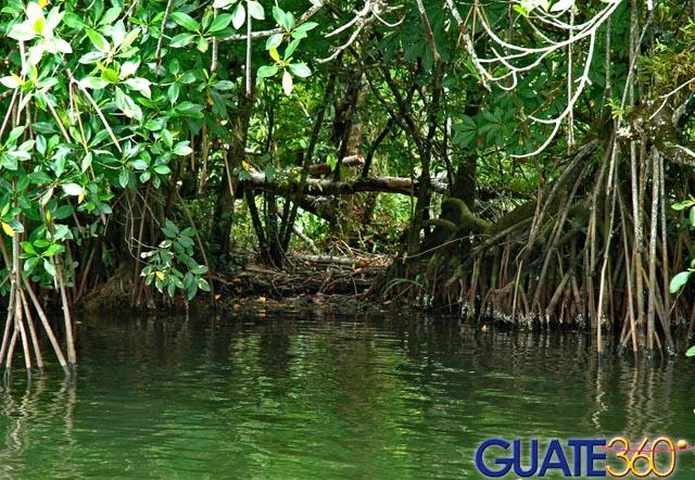 .com   Fotos de Rio Dulce - Manglares en la orilla del Río Dulce
